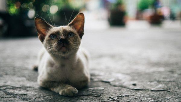 ไข้หวัดแมว ส่งผลให้แมวมีน้ำมูกและอักเสบที่ตา
