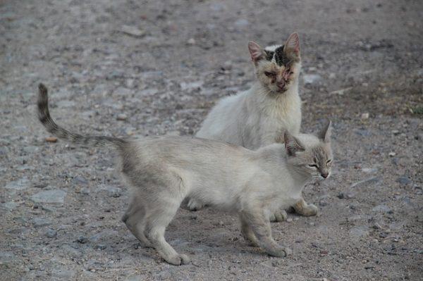 หากไม่ได้รับวัคซีนป้องการโรคหัดแมว มีโอกาสสูงมากที่แมวจะเสียชีวิต