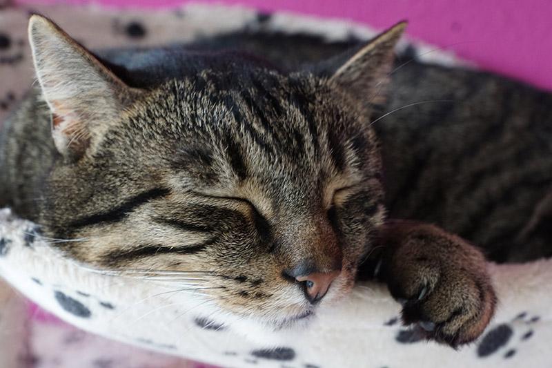 โรคหัดแมว ภัยอันตรายที่คนเลี้ยงแมวต้องระวัง