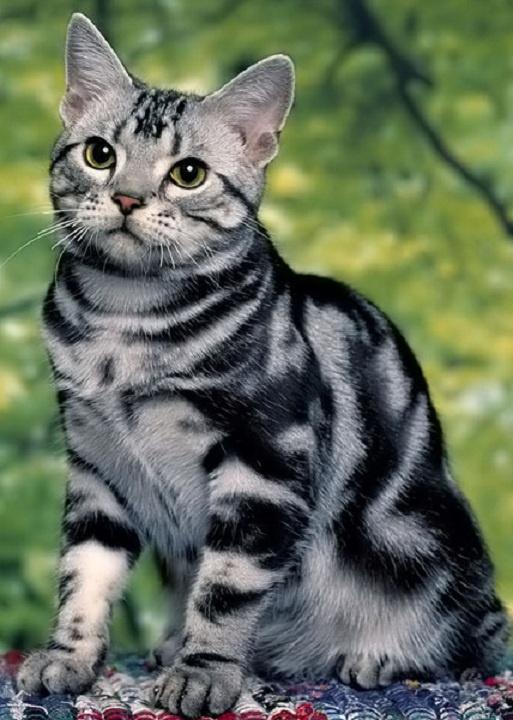 แมวอเมริกันช๊อตแฮร์สี silver tabby