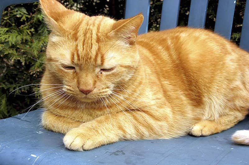 แมวอเมริกันช๊อตแฮร์สีส้ม