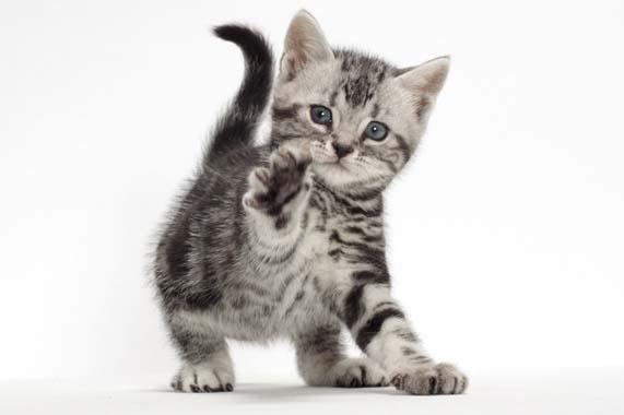 ลูกแมวแมวอเมริกันช๊อตแฮร์