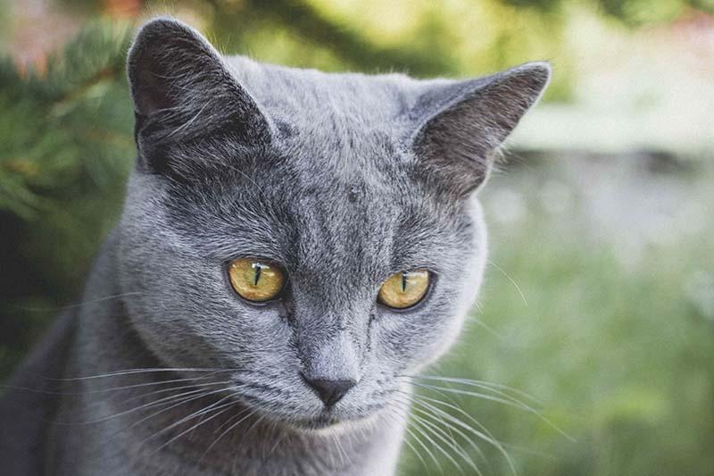 แมวอเมริกันช๊อตแฮร์สีพื้นๆ