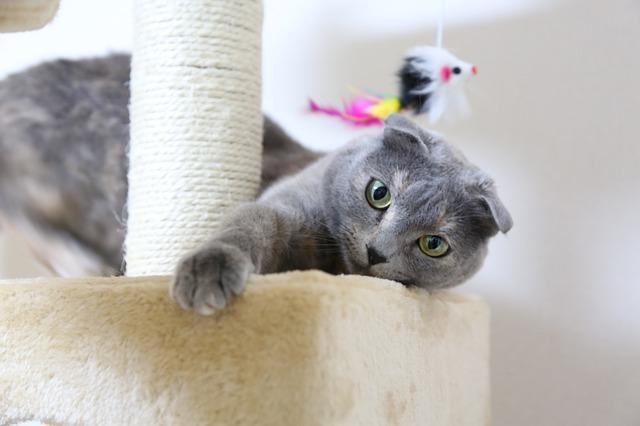 แมวสก็อตทิชโฟลด์